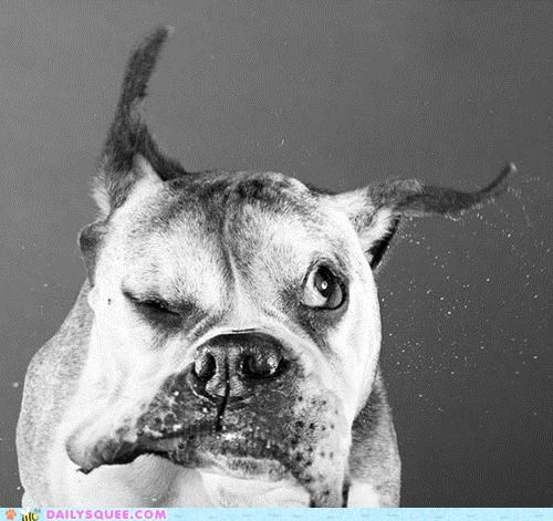 acting like animals boston terrier confused dogs experience not sure shaking thinking water wet - 5048021248