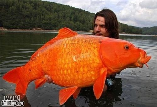 Damn Nature U Scary,fish,fishing,gold fish,huge,nature