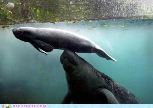 acting like animals baby boost breaching helping manatee manatees parent surface swimming water
