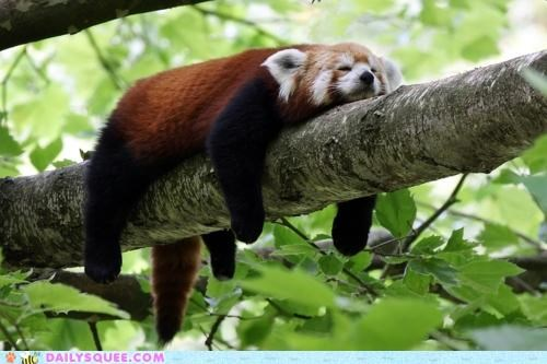 acting like animals,comparison,do not want,egg,fried,Fried Egg,hot,lazy,overheated,red panda,sleeping