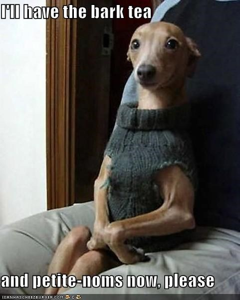 italian greyhound,noms,prim and proper,sitting,sophisticated,sweater