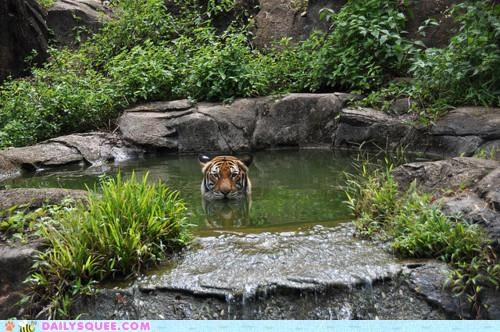 acting like animals jaws not quite soaking song swimming theme Theme Song tiger water - 5055852032