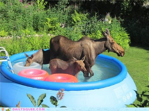 acting like animals,complaint,family,Hall of Fame,moose,pool,proportion,size,swimming