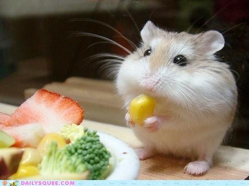 corn Hall of Fame hamster nomming noms vegetables veggies - 5056217344