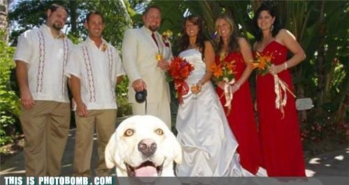 Animal Bomb dogs funny wedding photos Hall of Fame photo shoot photobomb wedding wedding party yellow lab