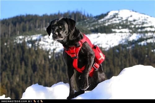 Black Lab goggie ob teh week labrador retriever Search and Rescue Search and Rescue Dog snow - 5064449024