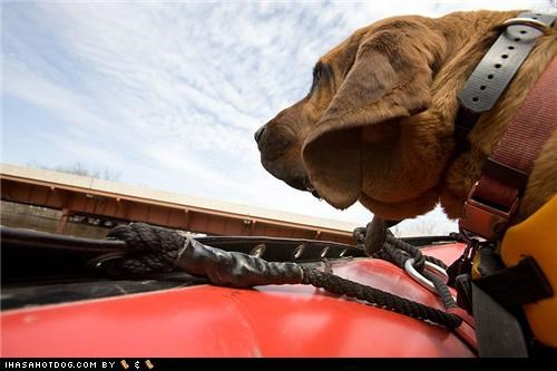 Barnaby,bloodhound,flood,goggie ob teh week,North Dakota,raft,Search and Rescue,Search and Rescue Dog