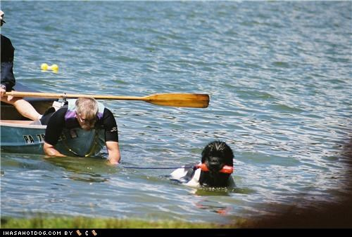 goggie ob teh week helping newfoundland Search and Rescue Search and Rescue Dog swimming training - 5064480768