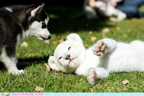 Babies,baby,cub,friends,friendship,husky,Interspecies Love,lion,playing,puppy