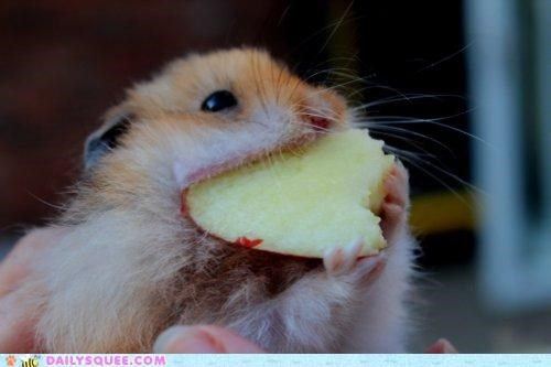 acting like animals big biggest fruit hamster huge mouth nom nomming noms proportion widest - 5066298368