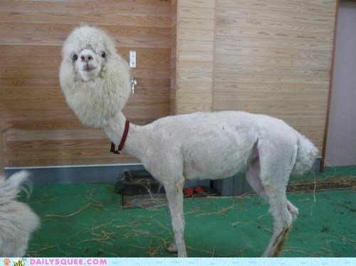 acting like animals Growing hair haircut Hall of Fame head llama lolwut out shaved silly - 5066311168