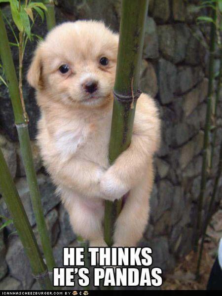 animals bamboo confused i has a hotdog panda species - 5069960960