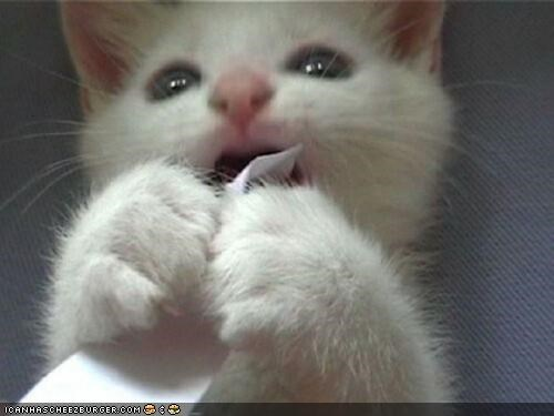 cyoot kitteh of teh day eating mouth open paper shredder white - 5070047744
