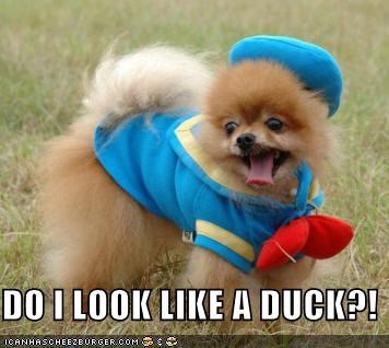 costume,dogs,donald duck,ducks,dumb,i has a hotdog,pomeranians,wtf