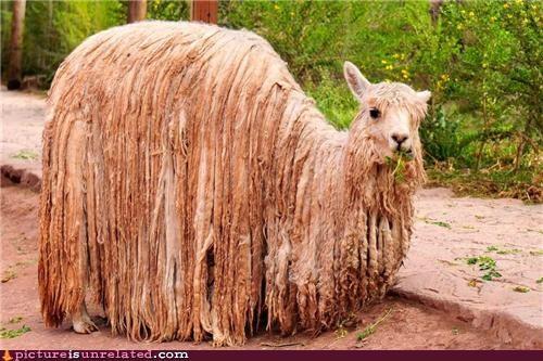 animals dredlocks llama rasta wtf - 5072266752
