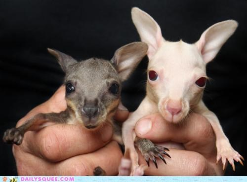 albino Babies baby coloration Hall of Fame Joey joeys normal pepper salt twins wallabies wallaby