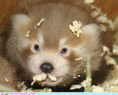 adorable,baby,cub,innate,innately squee,month,one,red panda,tiny,unbearably squee