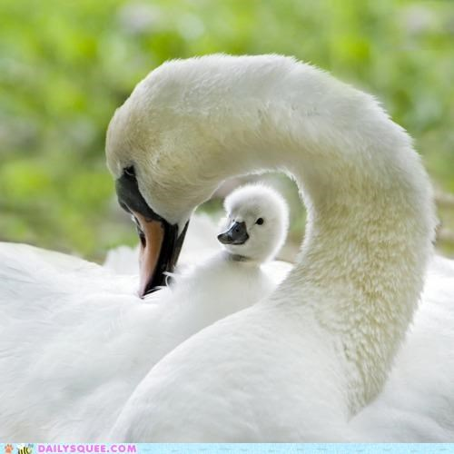arc Arc de Triomphe arch baby cygnet pun swan swans - 5074251008
