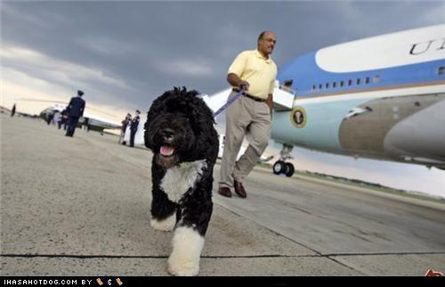 obama political politics portuguese water dog top dog - 5080574208