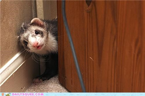 ferret game playful playing reader squees tag taunting