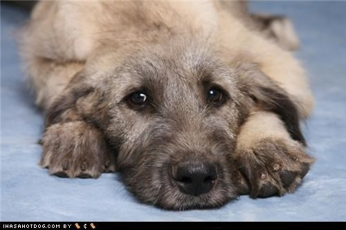 cyoot puppeh ob teh day,puppy,sweet face,wolfhound