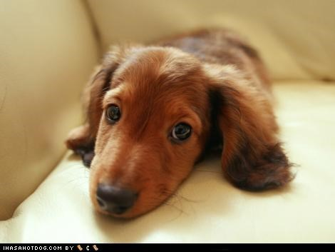 couch cyoot puppeh ob teh day dachshund puppy puppy dog eyes waiting - 5081643776
