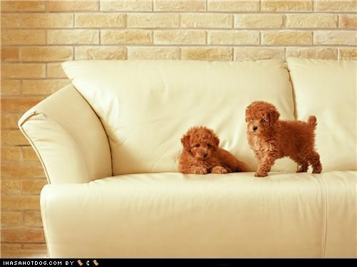 couch cyoot puppeh ob teh day mine ours puppy whatbreed - 5081675776