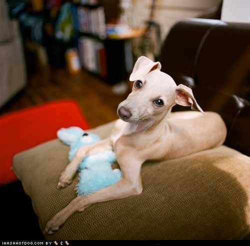 curious,cyoot puppeh ob teh day,italian greyhound,puppy,toy