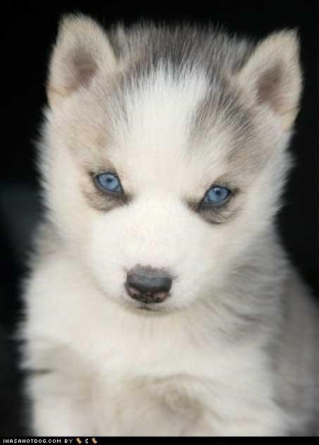 beautiful,blue eyes,cyoot puppeh ob teh day,husky,puppy