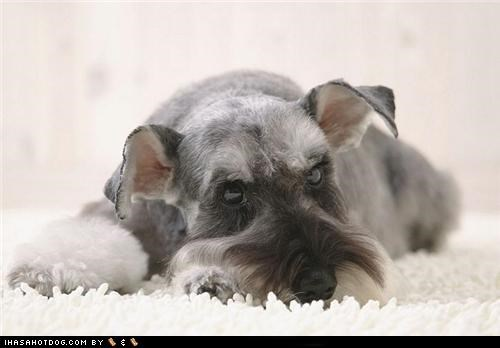 cyoot puppeh ob teh day laying down puppy resting schnauzer stay here