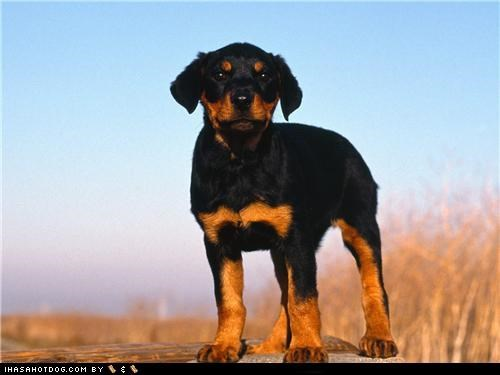 cyoot puppeh ob the day,outdoors,proud,puppy,regal,rottweiler,standing