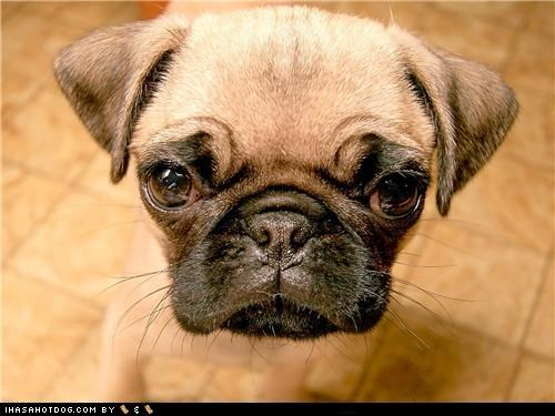 cute face cyoot puppeh ob teh day in your face pug puppy - 5081770240