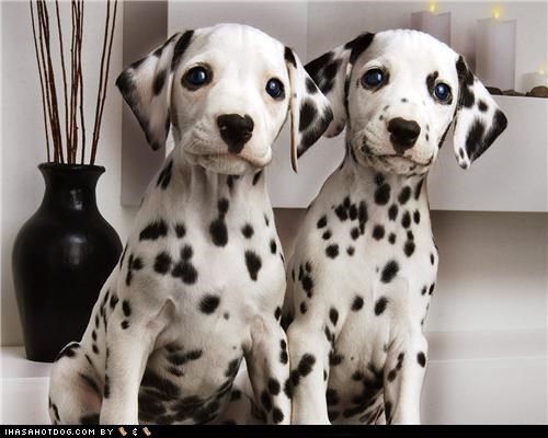 adorbz,cute face,cyoot puppeh ob teh day,dalmatian,on alert,puppy,sweet face