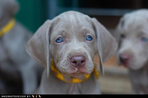 blue eyes,cyoot puppeh ob teh day,puppy,sweet face,weimaraner