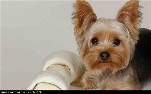 bone cyoot puppeh ob the day mine noms puppy treat yorkie yorkshire terrier - 5081810944