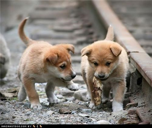 chewing cyoot puppeh ob teh day friends playing puppies puppy stick whatbreed - 5081826048