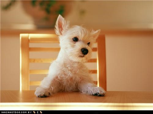 cyoot puppeh ob teh day,dinnertime,puppy,sitting,table,whatbreed