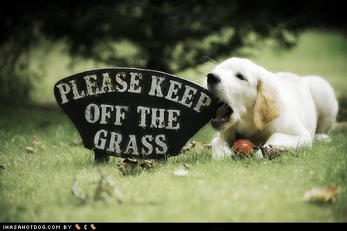 chewing cyoot disobey disobeying golden retriever naughty puppy rebel stay off the grass - 5081849088