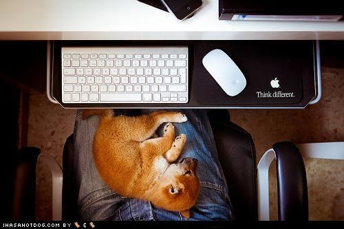 computer cyoot puppeh ob teh day lap nap time naptime procrastination puppy shiba inu technology - 5081926144