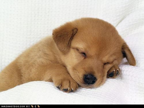 asleep cyoot puppeh ob teh day golden retriever puppy resting sleeping - 5081943296