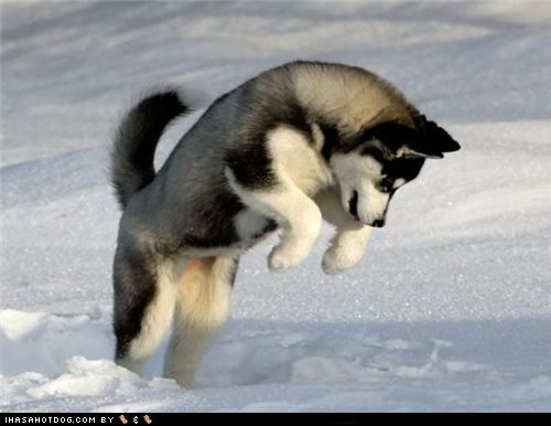 cyoot puppeh ob teh day husky outdoors play playing pounce pouncing puppy snow - 5081957120