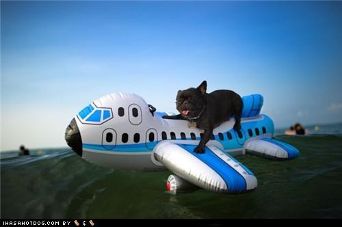 airplane cyoot puppeh ob teh day french bulldogs landing outdoors pilot