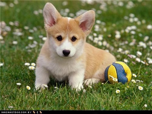 ball corgi cyoot puppeh ob teh day outdoors playing ready to play - 5082011136