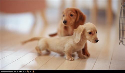 cyoot puppeh ob the day,dachshund,dachshunds,exploring,puppies,puppy