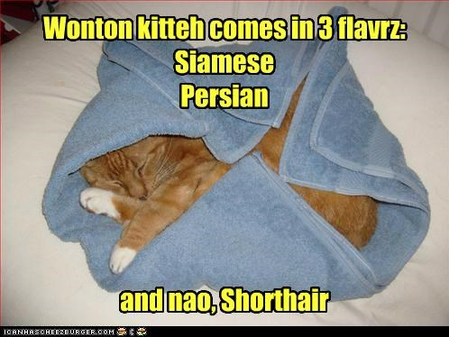 Wonton kitteh comes in 3 flavrz: Siamese Persian and nao, Shorthair