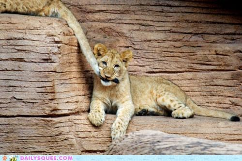 baby,bad idea,chewing,comparison,cub,dessert,lion,nomming,noms,tail