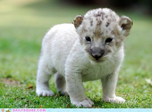 baby,best ever,challenge,cub,Hall of Fame,lion,most squee,unbearably squee