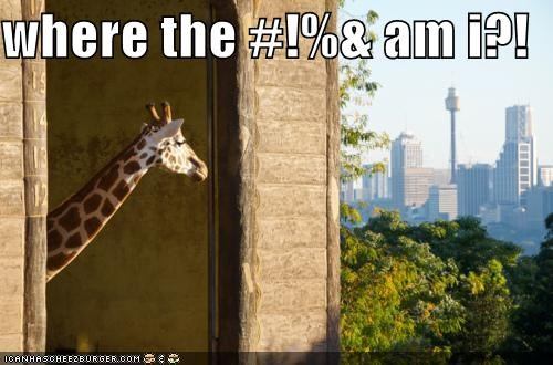 animals city giraffes I Can Has Cheezburger weird where am i wtf
