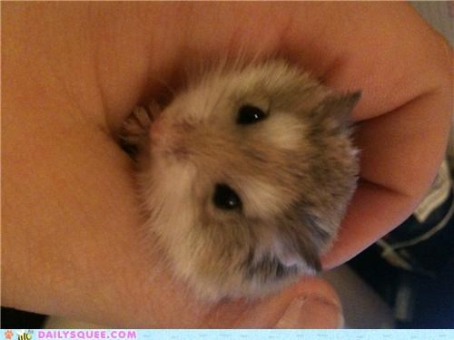 caesar dwarf hamster easy fix gender hamster julius caesar name reader squees - 5089313536