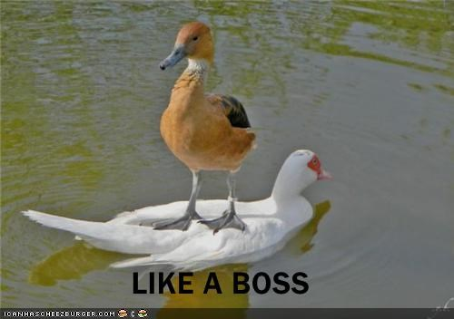 animals birds ducks I Can Has Cheezburger Like a Boss wtf - 5089508352